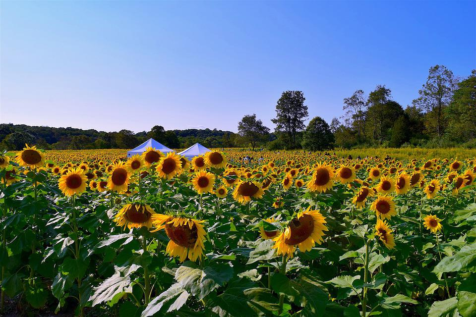 Sunflower, Field, Flower, Floral, Blossom, Summer