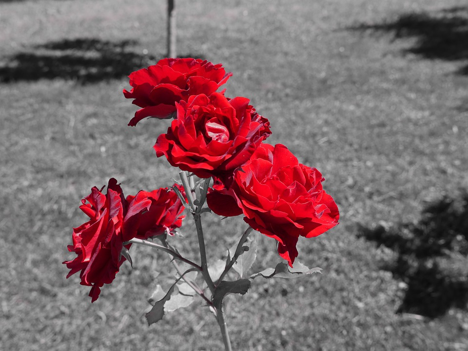 Rose, Red, Flower, Nature, Floral, Color Splash Effect