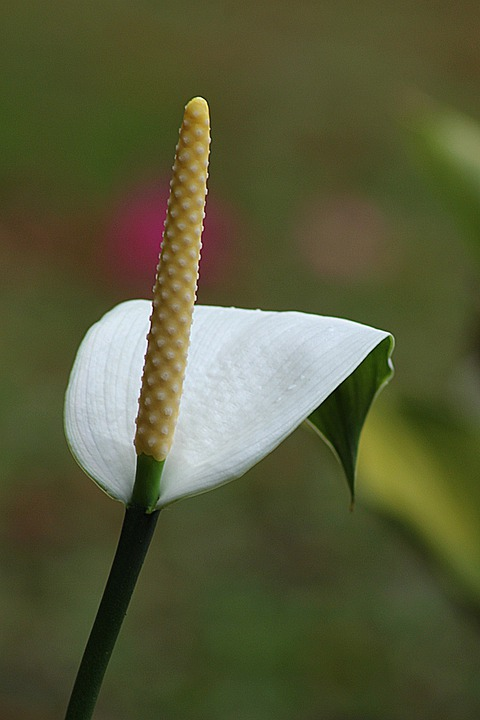 Flower, Calla, Floral, Plant, Natural, Blossom, Bloom