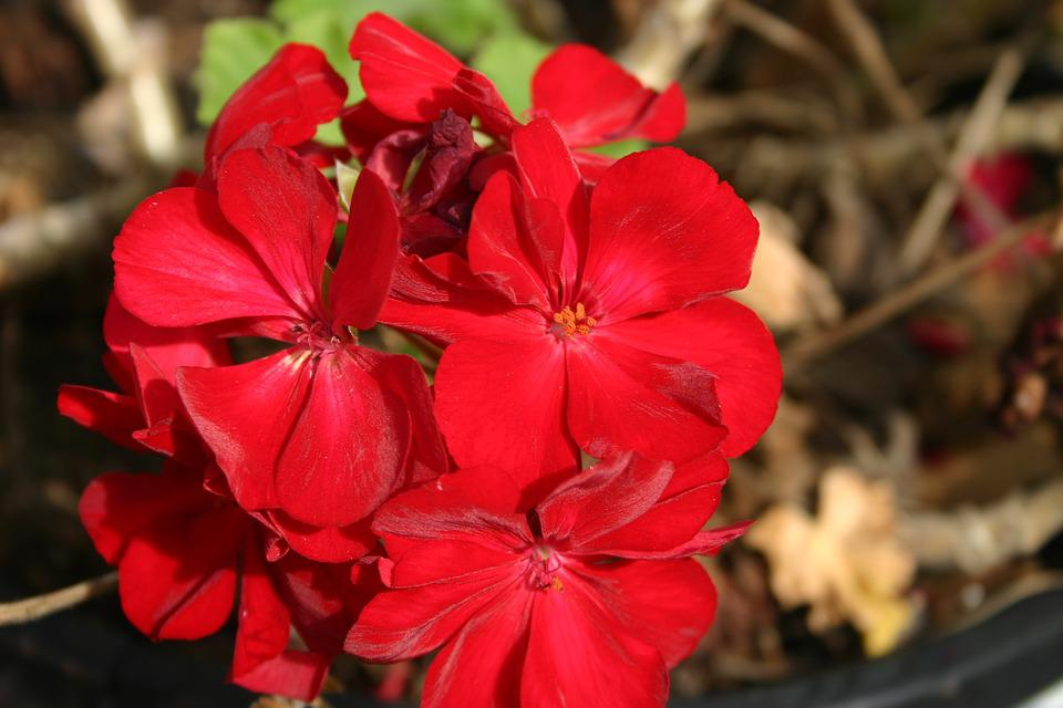 Flower, Red, Geranium, Floral, Nature, Plant, Colorful