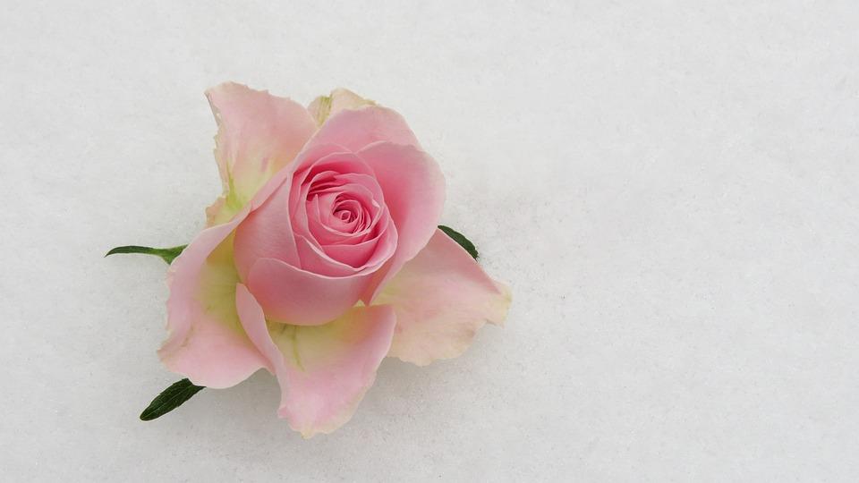 Rose Bloom, Rose Blossom Pink, Flower, Floral, Plant