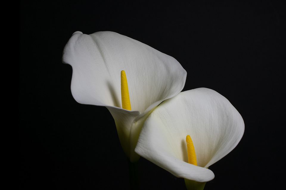 Flowers, Calla Lilies, Floral