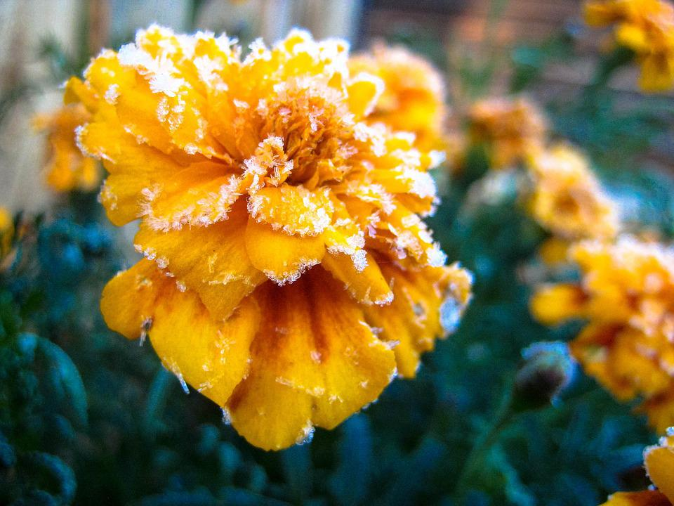 Flower, Frosting, Yellow, Floral, Garden, Winter