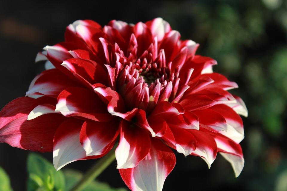 Dahlia, Flowers, Bloom, Full, Leaves, Floral, Petal