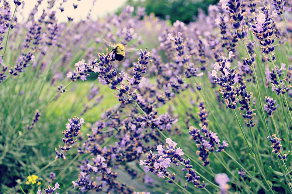 Bee, Lavender, Flower, Purple, Insect, Floral, Garden