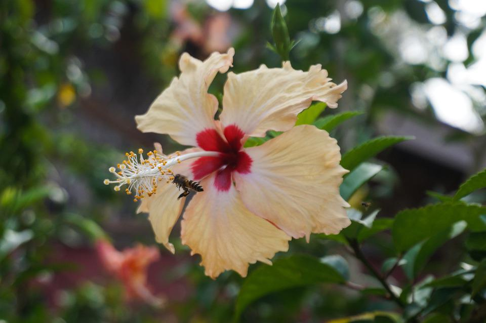 Flower, Hibiscus, Blossom, Bloom, Floral, Nature, Flora