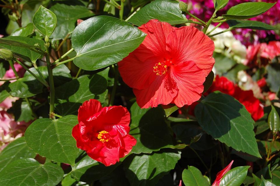Nature, Flower, Leaf, Plant, Garden, Red Flower, Floral