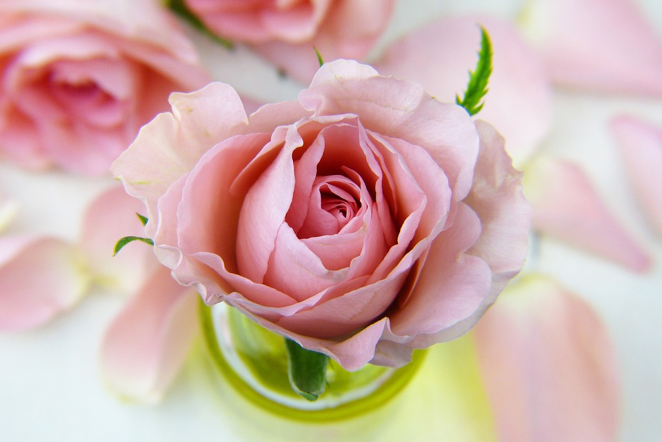 Flower, Rose, Love, Floral, Petal, Pink, Oil
