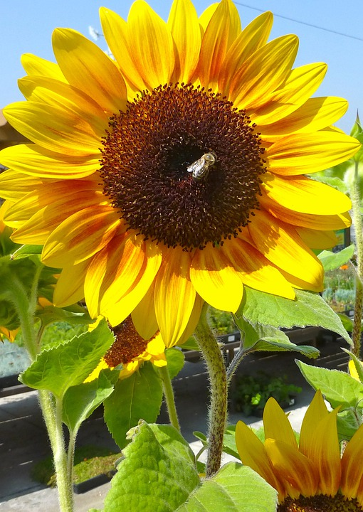 Sunflower, Bee, Flora, Floral, Plant, Natural, Blossom
