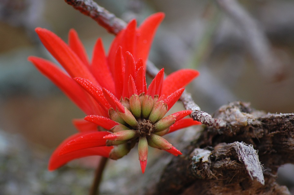 Flower, Coral Tree, Floral, Plant, Natural, Blossom