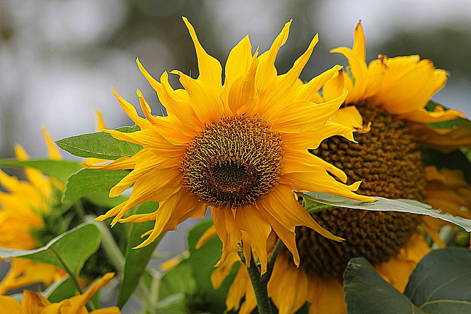 Sunflower, Helianthus, Floral, Plant, Natural, Blossom