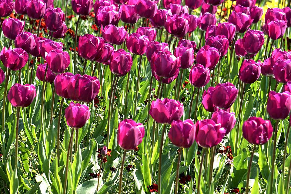 Flowers, Tulip, Spring, Floral, Nature, Season, Fresh
