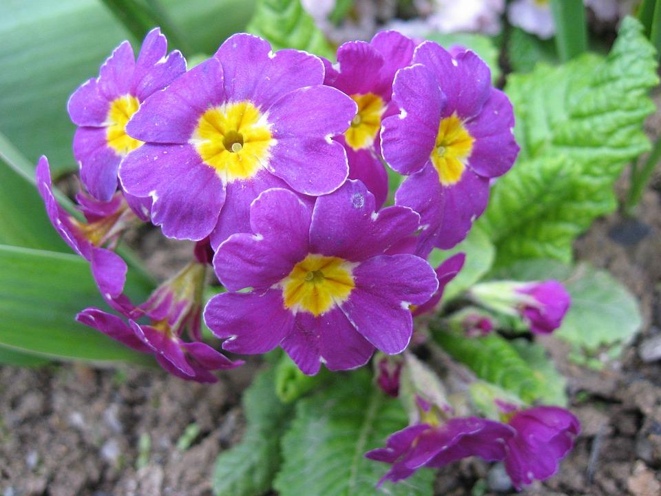 Flower, Violet, Jaglika, Purple, Spring, Floral, Nature