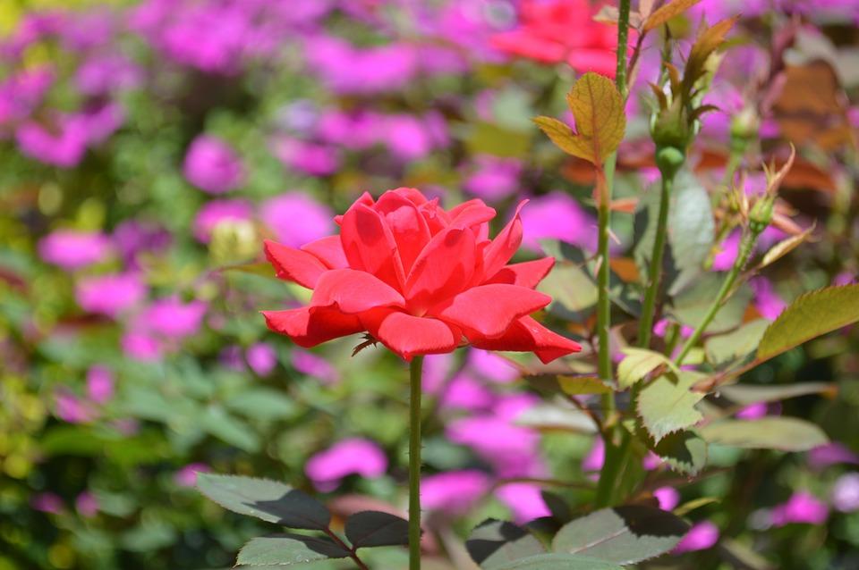 Rose, Single, Red, Flower, Nature, Floral, Petal