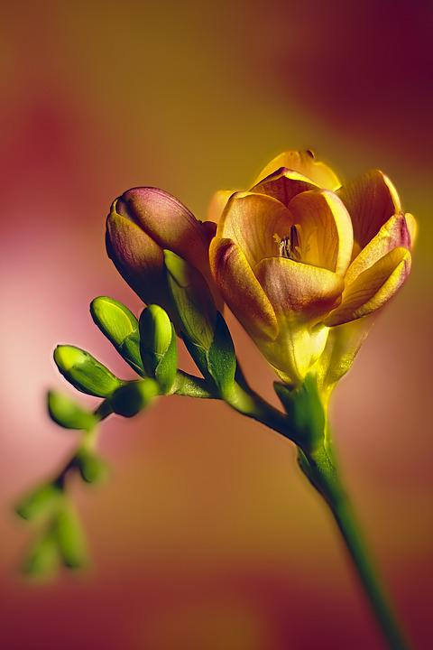 Freesia, Flowers, Nature, Floral, Petal, Flower, Plant