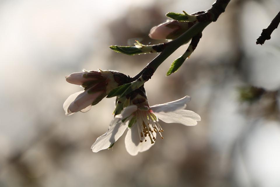 Flowers, Petals, Buds, Branch, Tree, Flora, Floral