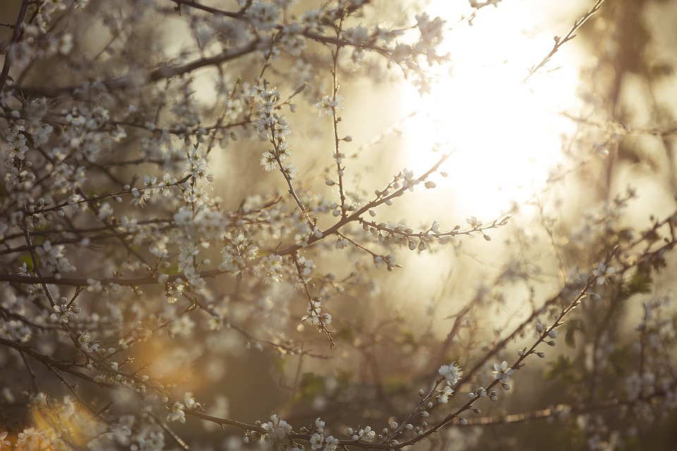 Tree, Blooming, Blossom, Sunset, Pflanze, Bloom, Floral