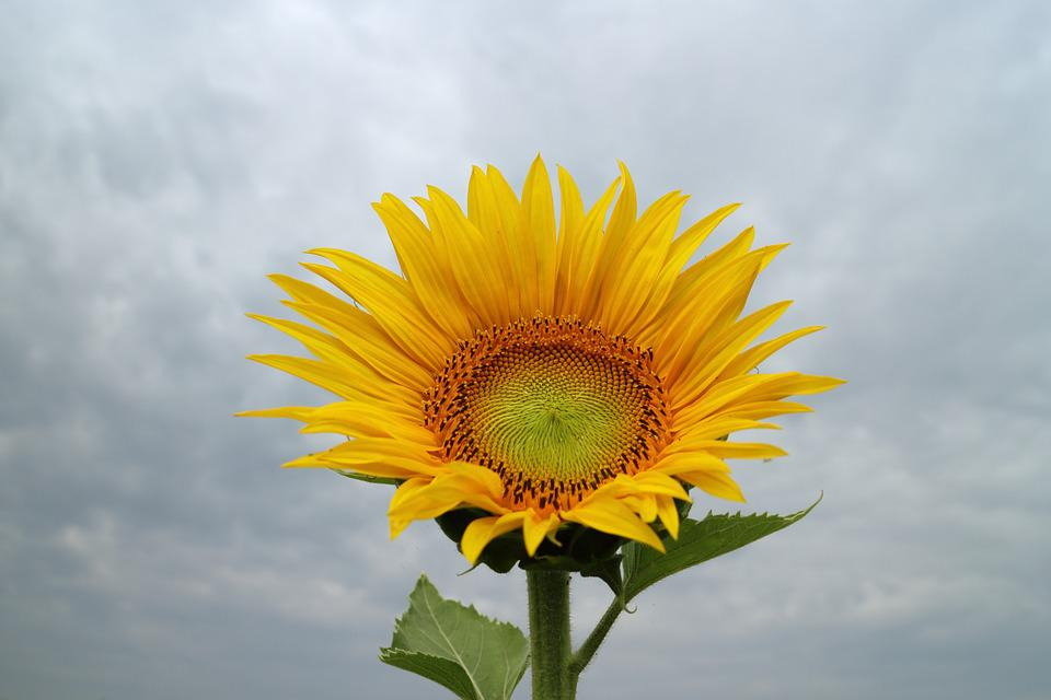 Sunflower, Yellow, Flower, Blossom, Floral, Plant