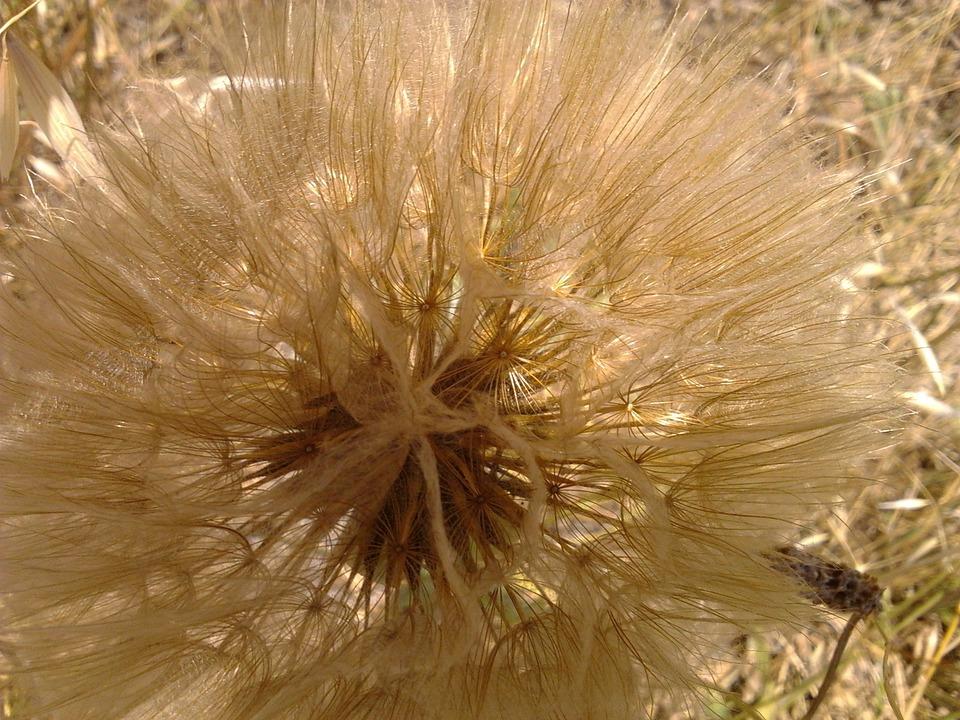Dandelion, Flower, Floral, Plant, Natural, Blossom