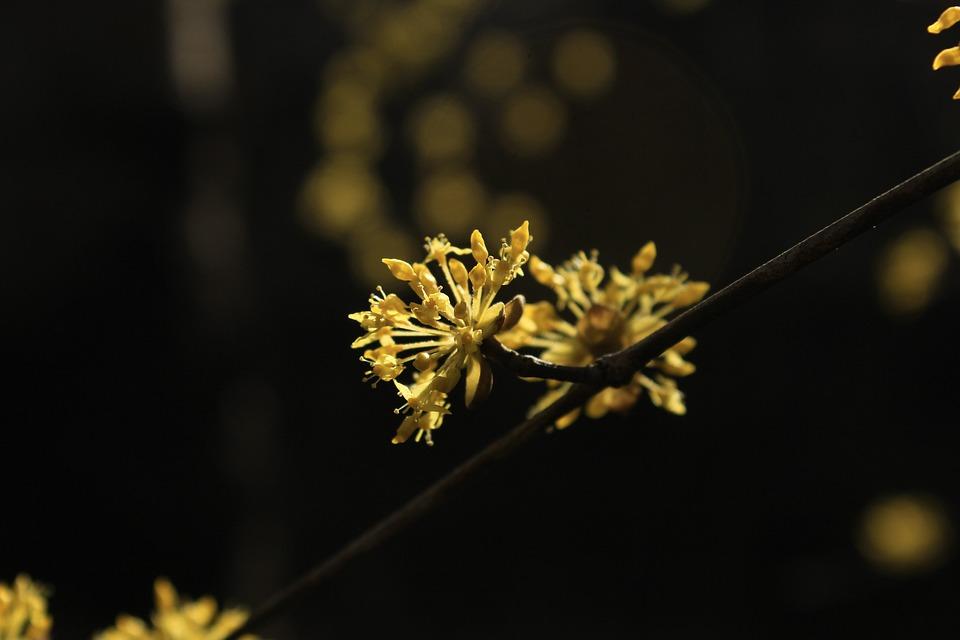 Nature, Cornus, Floral, Plant, Natural, Blossom, Bloom
