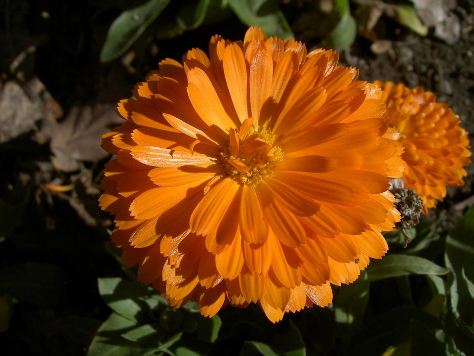 Zinnia, Flower, Orange, Pretty, Floral, Blossoming