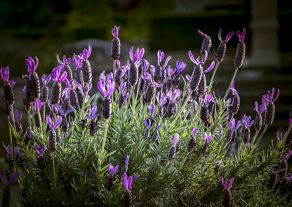 Lavender, Bouquet, Flower, Floral, Purple, Nature