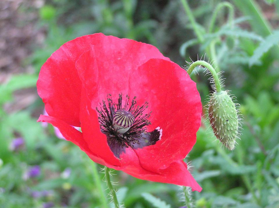 Free photo floral red poppy war remembrance day flower max pixel remembrance day poppy flower red war floral mightylinksfo