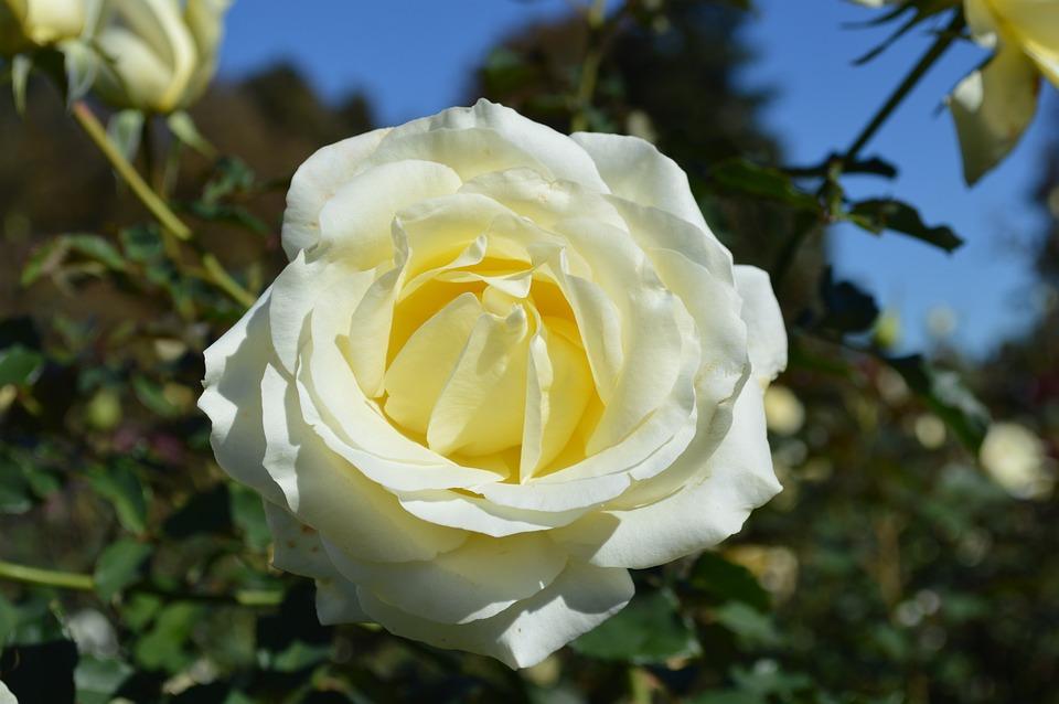 White Rose, Close-up, Flower, Romance, Floral, Love