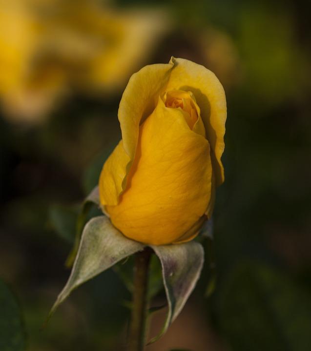Yellow, Rose, Flower, Flora, Floral, Spring, Summer