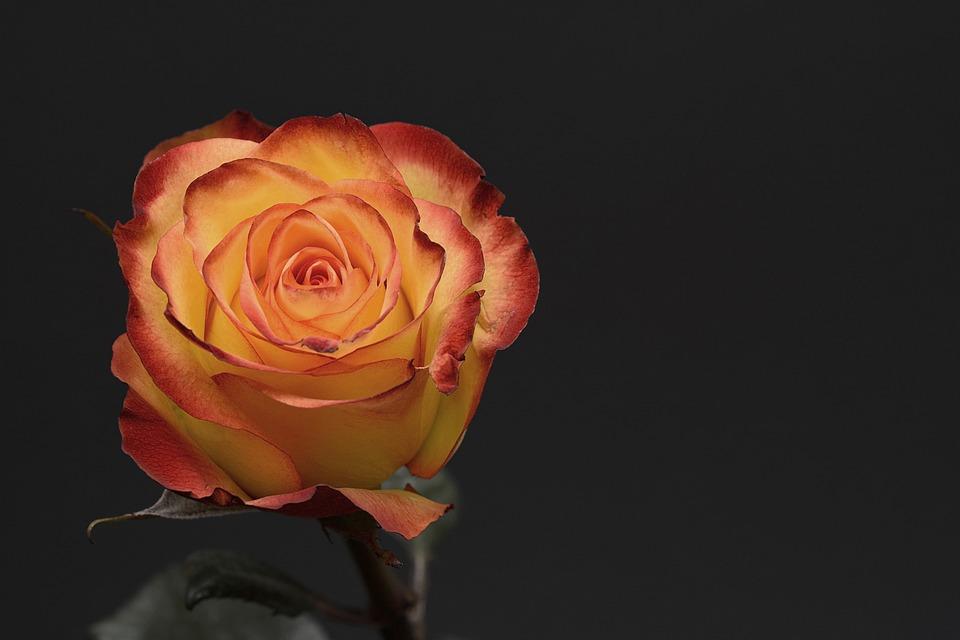 Rose, Flower, Petal, Floral, Love, Orange, Yellow