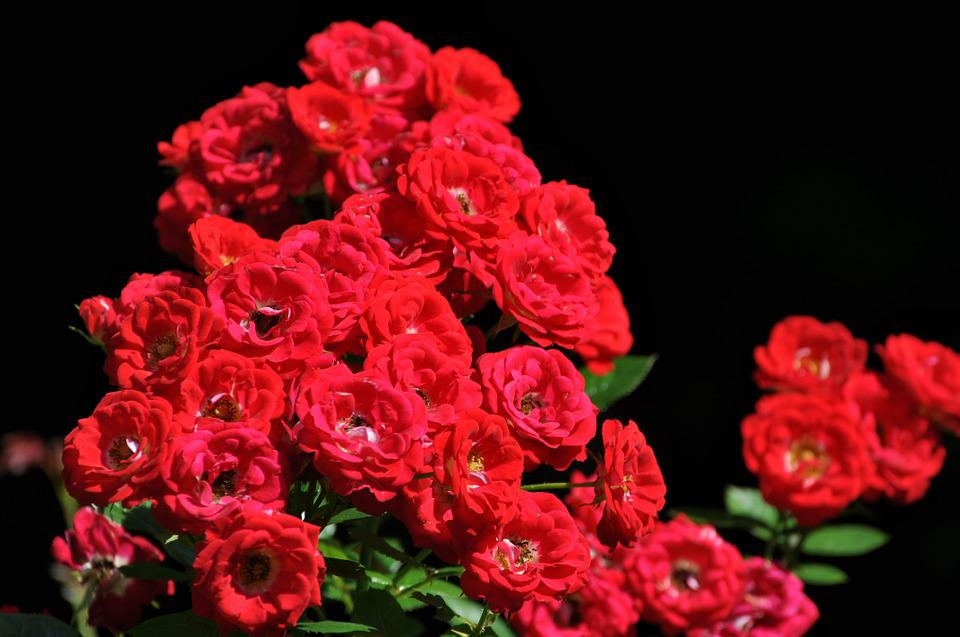 Roses, Red, Flowers, Floral, Nature, Garden