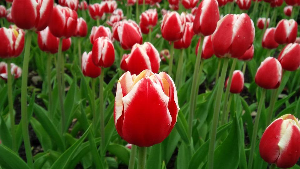 Tulip, Flower, Spring, Blooming, Floral, Nature, Garden