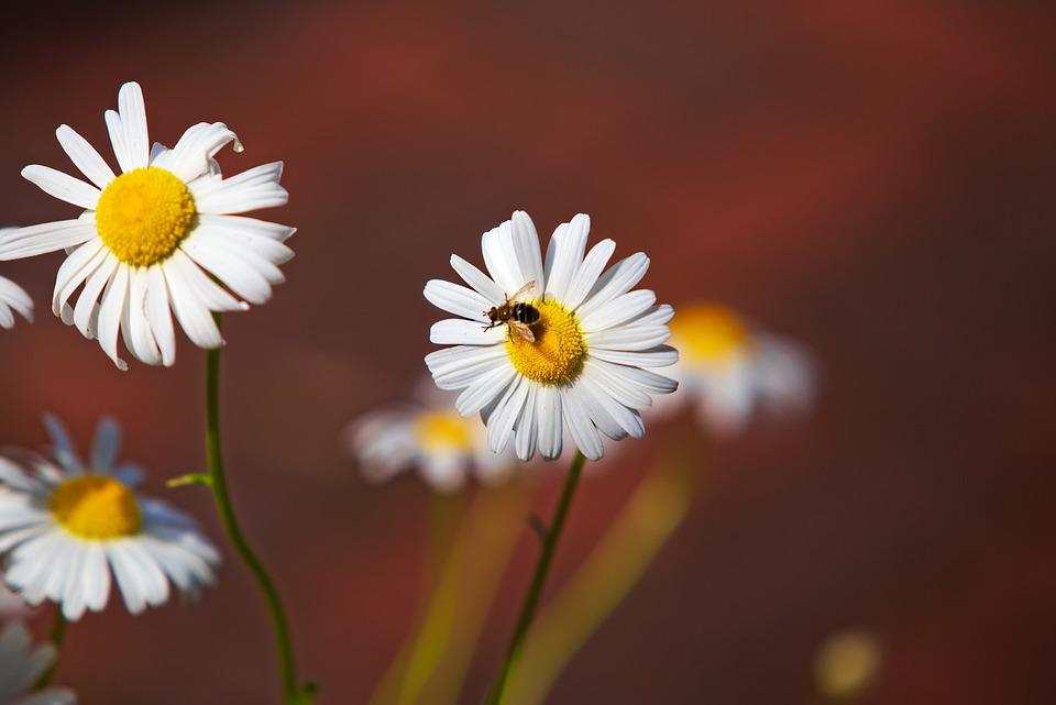 Daisy, Flowers, Bee, Nature, Blossom, Summer, Floral
