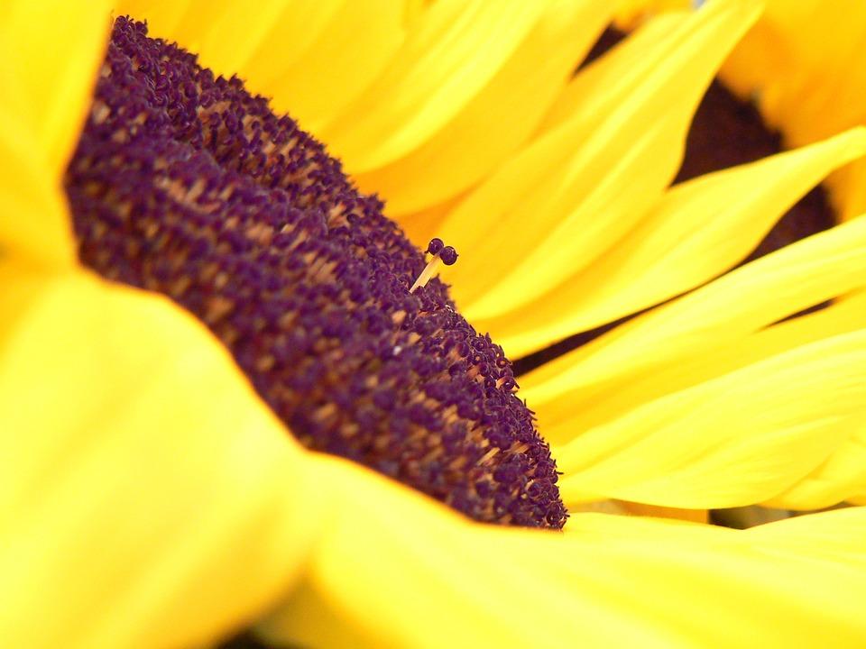 Sunflower, Flower, Yellow, Floral, Purple, Rebel, Macro