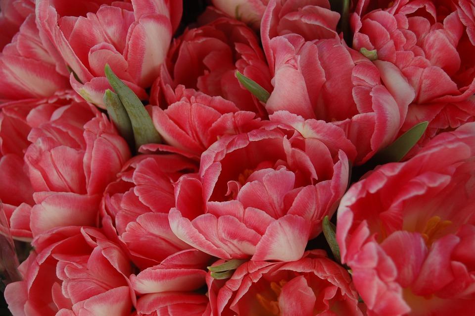 Flower, Tulips, Spring, Floral, Bloom, Tulip, Flowers