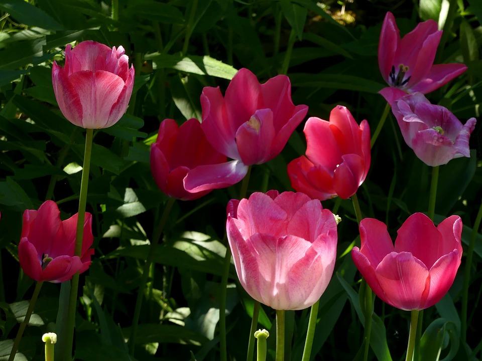Flowers, Tulips, Tulip Bed, Park, Garden, Floral, Plant