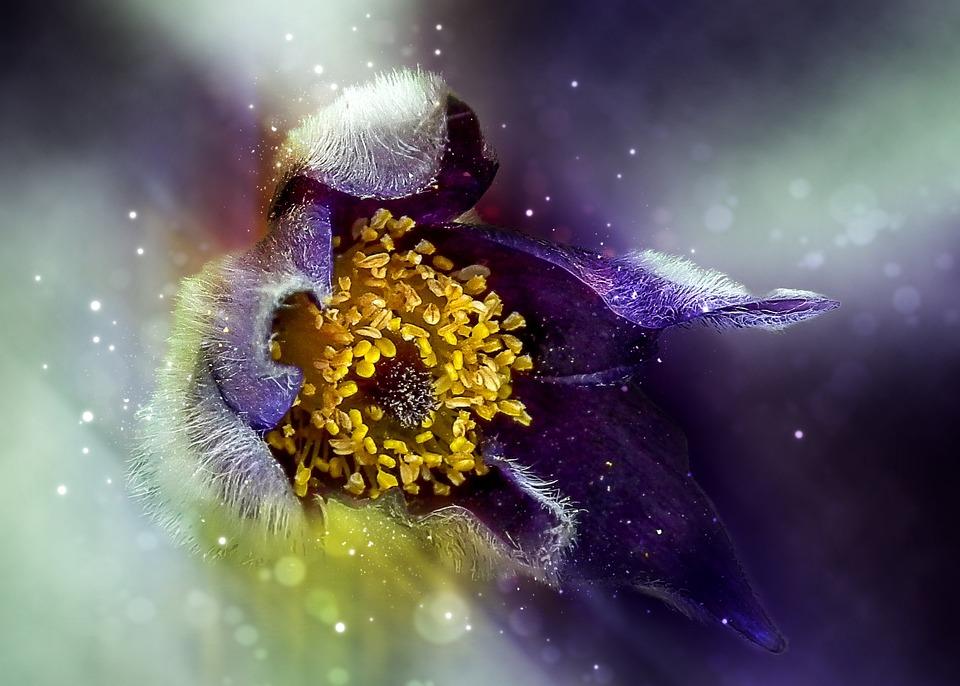 Nature, Flower, Anemone, Violet, Garden, Purple, Floral