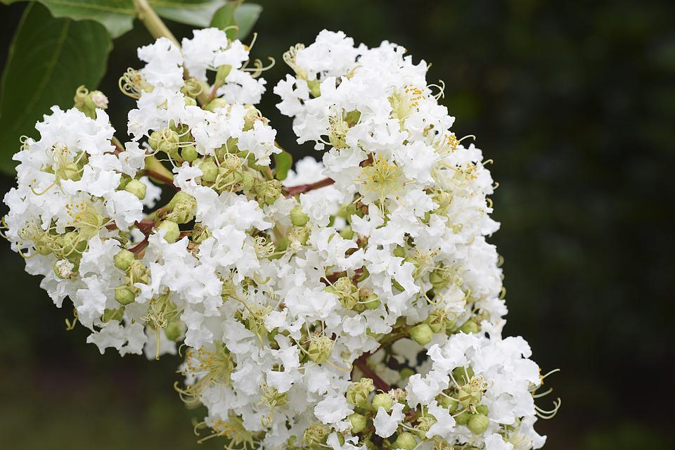 Free photo floral white crape myrtle green flowers brown max pixel flowers floral crape myrtle white green brown mightylinksfo