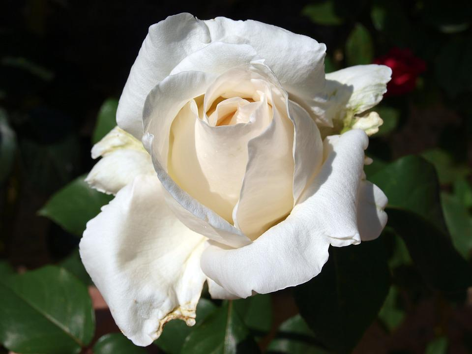 Rosa, Petal, White Rose, Plant, White Flower, Floral