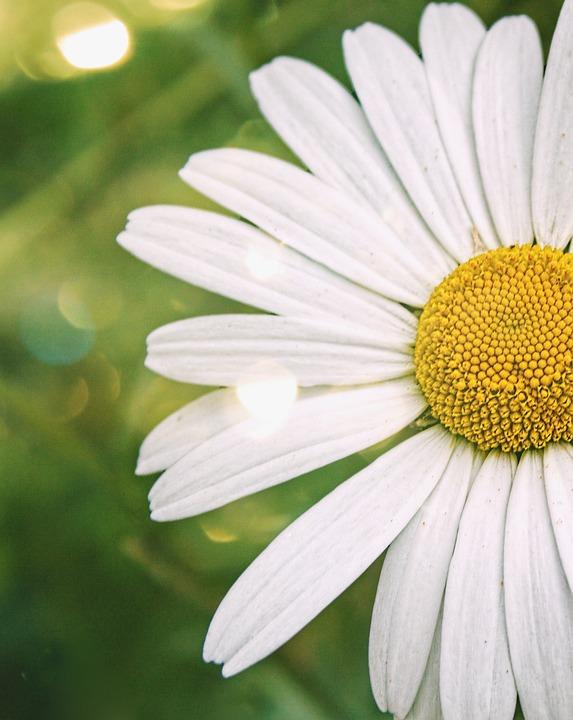 Wildflower, Daisy, Summer, Floral, White, Wild, Bloom