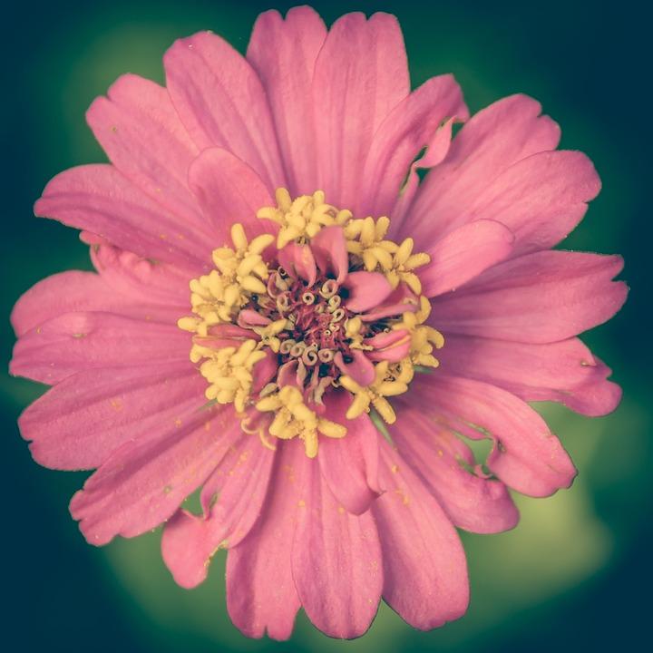 Zinnia, Pink, Vintage, Flower, Background, Floral