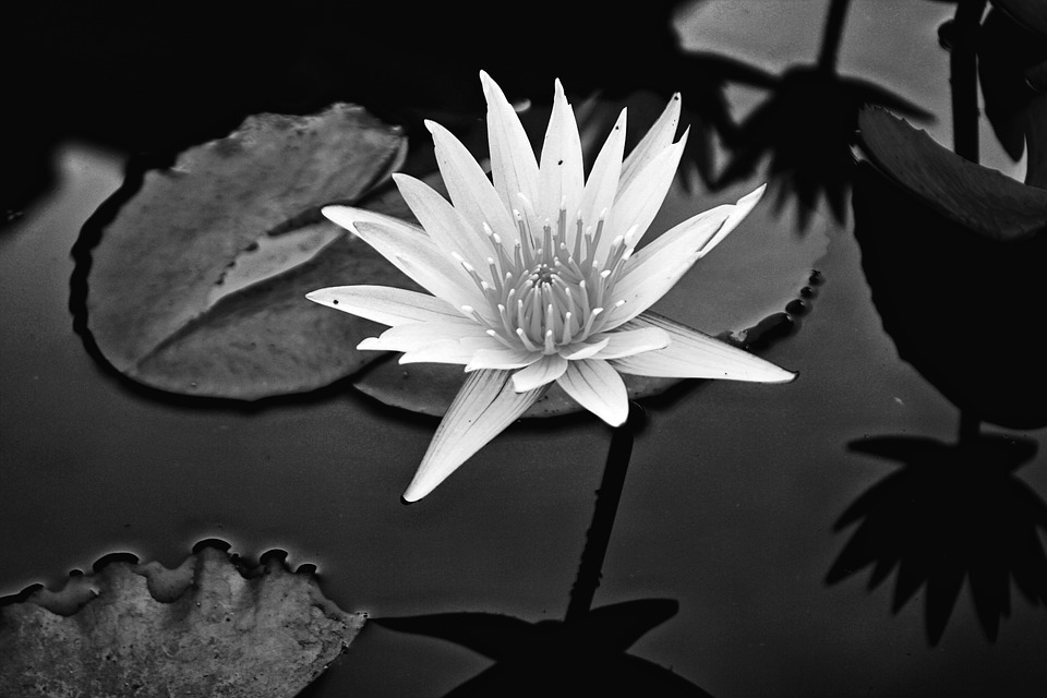Flower, Lily, Water Lily, Water, Blooming, Flores