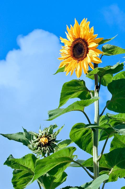 Sunflower, Flower, Florets, Plant, Yellow, Summer