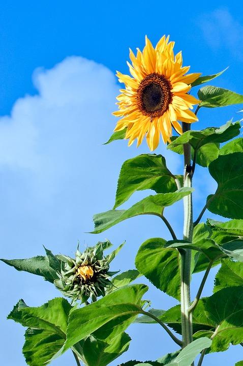 Sunflower, Flower, Florets, Plant, Yellow, Summer