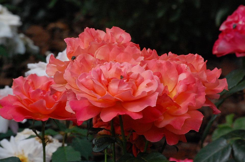 Roses, Flowers, Insects, Floribunda, Petals, Bloom