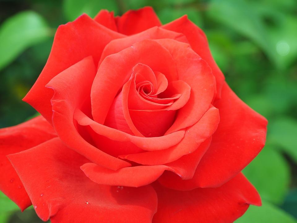 Rose, Red, Blossom, Bloom, Floribunda, Plant