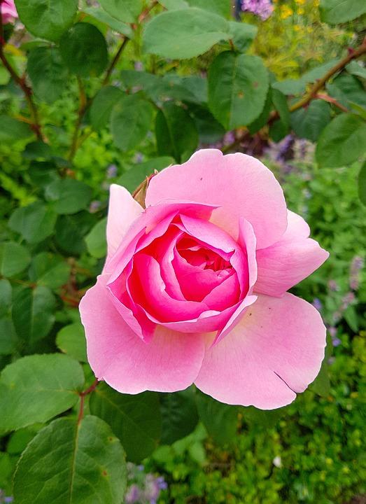 Rose, Floribunda, Blossom, Bloom, Romantic, Pink Rose