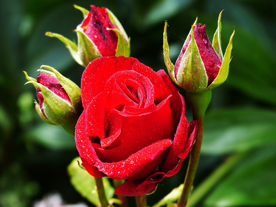 Rose, Floribunda, Red, Flower, Plant, Garden Rose, Bud