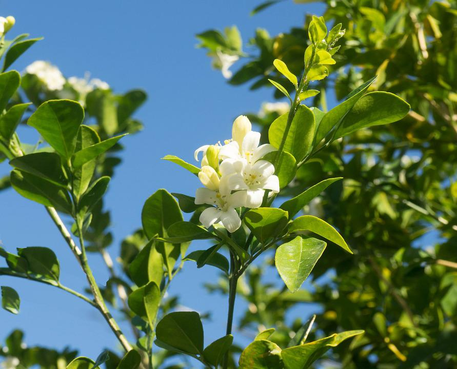 Orange Blossom, Key West, Florida, Nature, Tree
