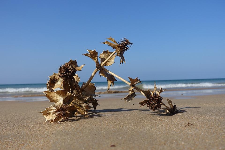 Spain, Sea, Thistle, Flotsam, Dry